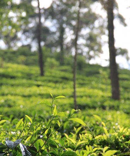 新茶の摘採開始日を決定!インド紅茶局での取り決め