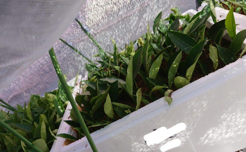 茶を育てるー挿し穂から挿し木編①ー