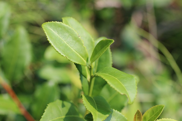 日本最北の茶木は北海道にあった。ー北海道古平市へー