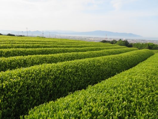 アメリカ茶畑