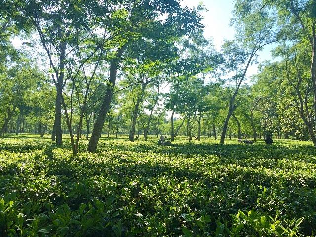 インドの密造酒で死者多数。アッサムの茶園労働者たち