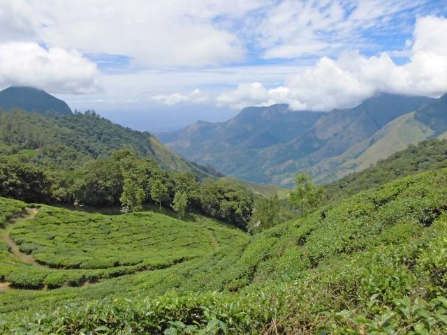 海外の茶畑
