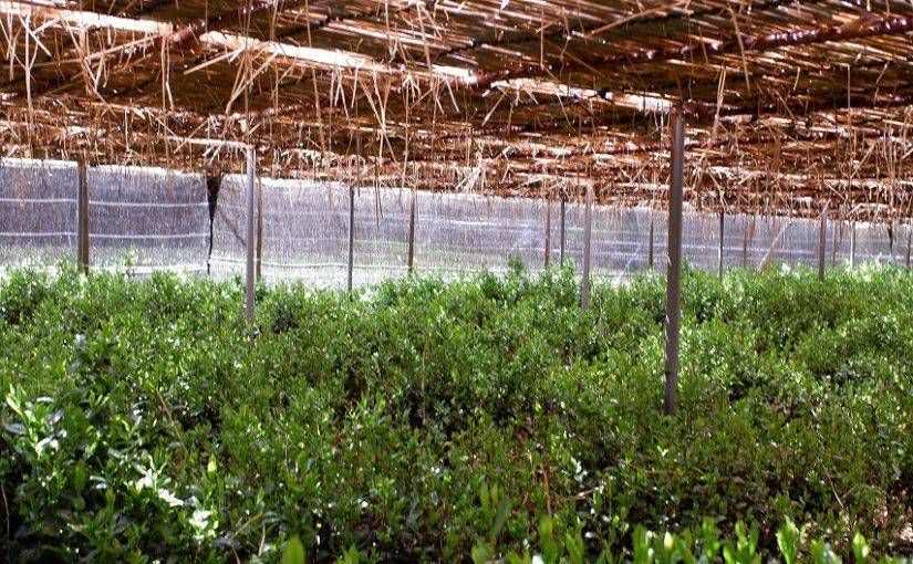 農林水産省 平成31年度戦略的プロジェクト「⾼品質茶⽣産拡⼤のための適期被覆技術体系の確立」について。