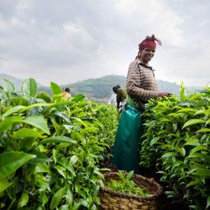 ルワンダでの茶生産について-SORWATHEの緑茶専門工場‐
