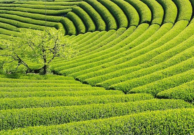南九州市知覧の茶商が初めてのFSSC22000取得。日本茶はますます海外へ。